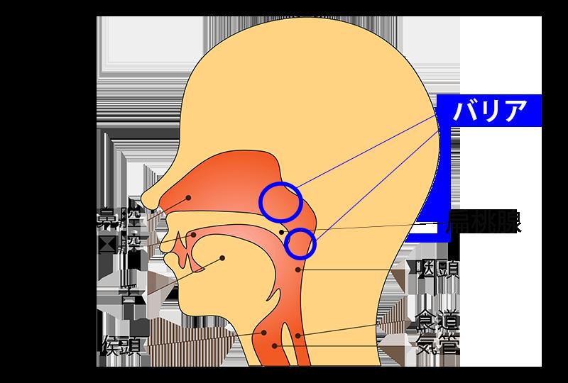 鼻のバリア機能